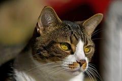 Bruine en witte kat Royalty-vrije Stock Fotografie