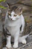 Bruine en witte kat Stock Foto's
