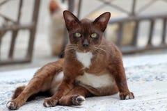 Bruine en witte kat die op de concrete grond liggen het is een klein geacclimatiseerd vleesetend zoogdier met zacht bont stock foto