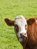 Bruine en witte koe Stock Afbeeldingen