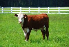 Bruine en witte koe stock fotografie