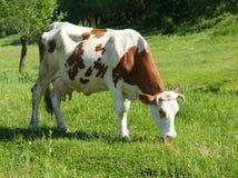 Bruine en witte koe Stock Foto's
