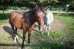 Bruine en Witte paarden Royalty-vrije Stock Afbeelding