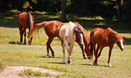 Bruine en Witte Paarden die door een Weiland lopen Stock Afbeeldingen
