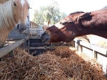 Bruine en witte paarden in een stal stock afbeeldingen