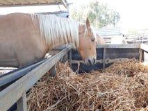 Bruine en witte paarden in een stal royalty-vrije stock afbeeldingen