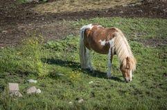 Bruine en Witte Pony Grazing Stock Foto's