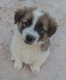 Bruine en witte puppyzitting op de straat Stock Afbeelding