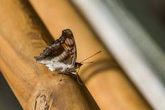 Bruine en witte vlinder op houten leuning Royalty-vrije Stock Fotografie