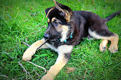 Bruine en Zwarte Duitse herder Puppy Chewing op Stok royalty-vrije stock foto's