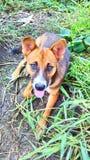 Bruine en Zwarte Hond Royalty-vrije Stock Fotografie