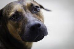 Bruine en zwarte hond die camera bekijken stock foto's