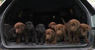 Bruine en Zwarte Labrador, Puppy in de Boomstam van een Auto, Normandië in Frankrijk, Langzame Motie stock footage
