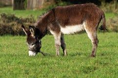 Bruine ezel royalty-vrije stock foto's