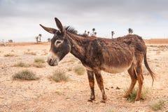 Bruine ezel Stock Fotografie
