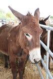 bruine ezel op landbouwbedrijf stock afbeeldingen
