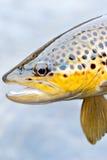 Bruine Forel stock foto's