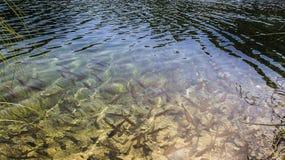 Bruine forel in de meren royalty-vrije stock afbeeldingen