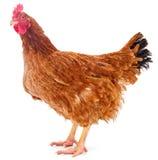 Bruine ge?soleerde kip royalty-vrije stock afbeeldingen