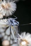Bruine Geaderde Witte Vlinder Royalty-vrije Stock Foto
