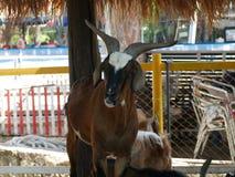 Bruine geit Stock Afbeelding