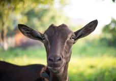 Bruine geit in de tuin Royalty-vrije Stock Afbeelding