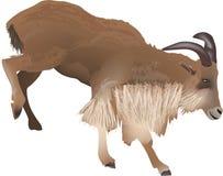 Bruine geit die op witte achtergrond wordt geïsoleerdr Stock Afbeelding