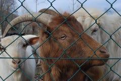 Bruine geit Het bekijken u royalty-vrije stock afbeeldingen