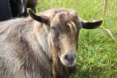Bruine geit zonder hoorns Royalty-vrije Stock Afbeeldingen