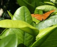 Bruine Gekleurde Vlinder met Zwarte Vlekken Stock Fotografie