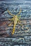 Bruine Gele Vergiftschorpioen op Rots Stock Afbeeldingen