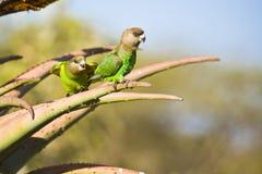 Bruine Geleide papegaaien Stock Foto's