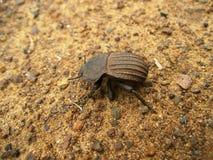Bruine geribbelde kever op zandgrond in Swasiland Stock Afbeeldingen