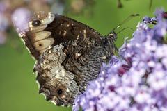 Bruine Gespikkelde Houten aegeria van vlinderpararge zuigt de nectar van een bloem stock foto
