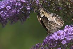 Bruine Gespikkelde Houten aegeria van vlinderpararge zuigt de nectar van een bloem stock fotografie