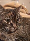 Bruine gestreepte katkat royalty-vrije stock afbeeldingen