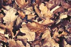 Bruine gevallen bladeren in de herfstlandschap Achtergrondhoogtepunt van bruine droge eiken bladeren in de herfst in retro kleure Royalty-vrije Stock Foto