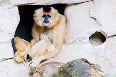 Bruine gibbon Stock Foto's
