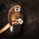 Bruine gibbon Stock Afbeelding