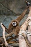 Bruine gibbon Stock Afbeeldingen