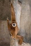 Bruine gibbon Royalty-vrije Stock Afbeeldingen