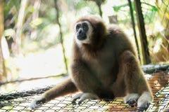 Bruine gibbon Royalty-vrije Stock Afbeelding