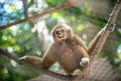 Bruine gibbon Royalty-vrije Stock Foto