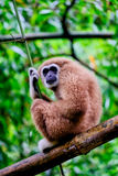 Bruine gibbon Stock Fotografie
