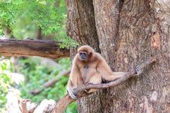 Bruine gibbonzitting op boom Stock Foto
