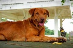 Bruine Goed en slimme hond stock afbeeldingen