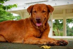Bruine Goed en slimme hond stock afbeelding