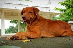 Bruine Goed en slimme hond royalty-vrije stock fotografie