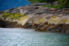 Bruine grizzly royalty-vrije stock afbeelding