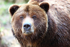 Bruine grizzly Stock Afbeelding